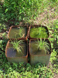 5月の田植え後の一斗缶稲の写真