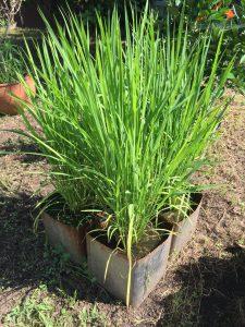 7月の一斗缶稲の写真