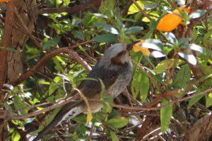 みかんを食べるヒヨドリの写真