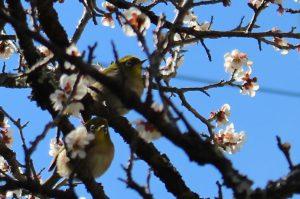 梅の木に並んでとまるメジロ二羽の写真