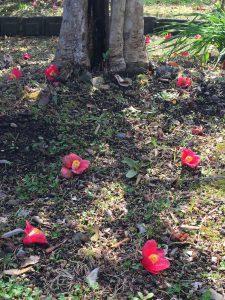 地面に落ちたヤブツバキの花の写真
