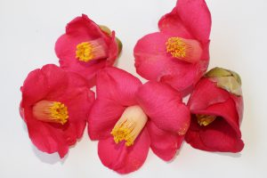 ヤブツバキの花の写真