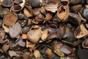 ツバキの種の殻の写真