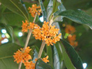 キンモクセイの花の写真