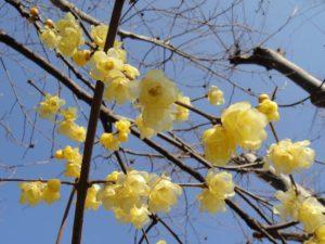 ロウバイの花の写真