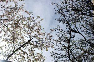 桜の花と梅の実の写真