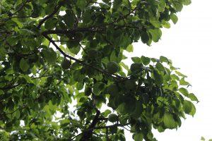 5月下旬の梅の木の写真