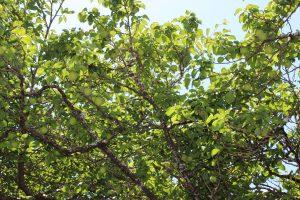 6月の上旬の梅の木の写真