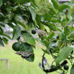 庭のユズとハッサクの木のまわりを舞うアゲハ(ナミアゲハ)の写真