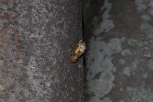 20:50 背中が割れ、成虫の頭が出てくる写真