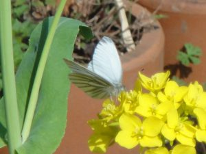 庭に来たスジグロシロチョウの写真