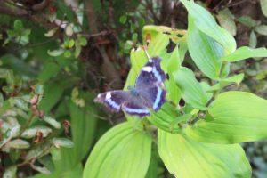 庭に来たルリタテハの写真