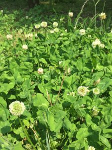 庭のシロツメクサの写真