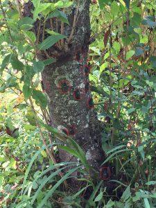 桜の木にとまるセミの写真