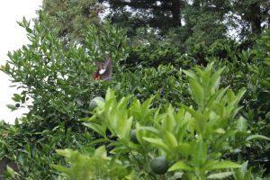 庭のアマナツの木のまわりを舞うモンキアゲハの写真