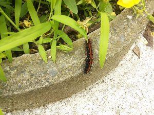 庭で生活するツマグロヒョウモンの幼虫の写真
