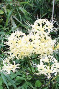 庭の白い彼岸花の写真