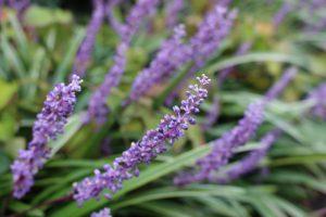 ヤブランの花の写真