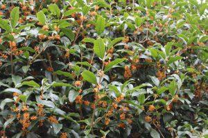キンモクセイの木の写真