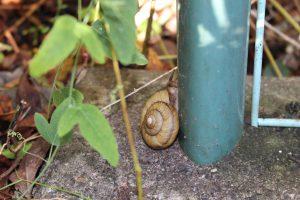 庭に住むミスジマイマイの写真