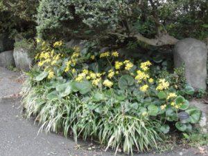 ツワブキが咲く秋から冬の写真