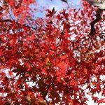 モミジの紅葉の写真