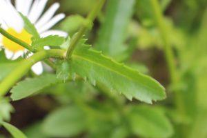 フランスギクの葉の写真