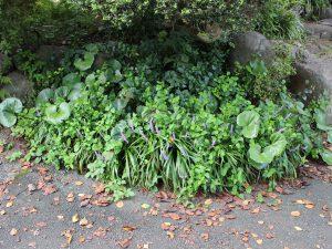 ヤブランが咲く夏から秋の写真