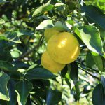 柚子の実が色づく頃の写真