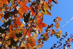 カエデの黄葉の写真