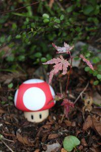 樹高10センチのモミジの紅葉の写真