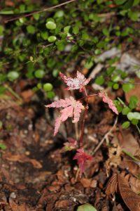 こぼれ種から生えたモミジの紅葉の写真