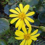 ツワブキの花の写真