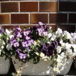 バンジー・ビオラの寄せ植えの写真