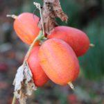 赤くなったカラスウリの果実の写真
