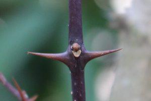 サンショウの冬芽の写真