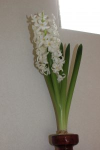 ヒヤシンスの花の写真