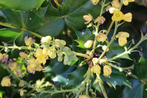 ヒイラギナンテンの花の写真