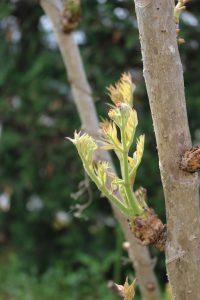 タラの芽の写真