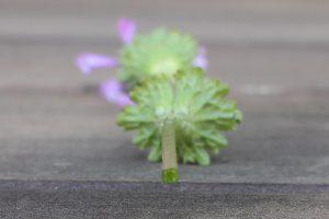 ホトケノザの茎の断面の写真