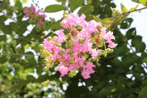 サルスベリの花の写真