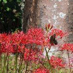 ヒガンバナとナミアゲハの写真