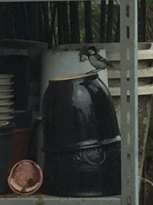 苔を運ぶシジュウカラの写真