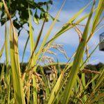 収穫したワラで正月飾りを作る!庭でバケツ稲づくり