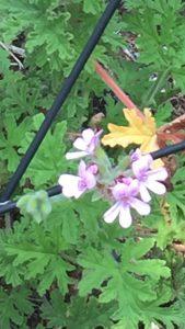 ローズゼラニウムの花の写真