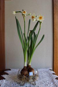 水仙の水栽培の写真