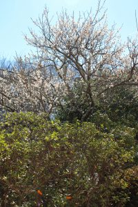 メジロが訪れる梅の木の写真