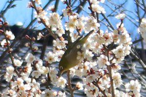 梅の蜜を吸うメジロの写真
