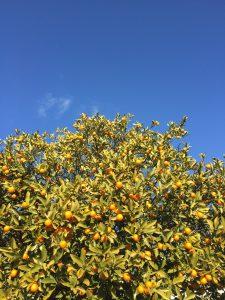 キンカンの木の写真