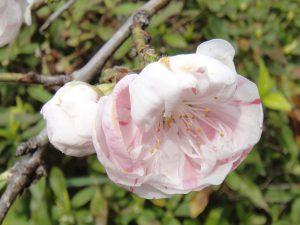 源平枝垂れ桃の花の写真